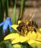 Продам пчёл, пчелосемья