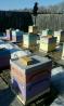 Пчелы карпатка с ульями