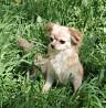 Пропала собака чихуа