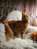 Мейн Кун чудесные котята