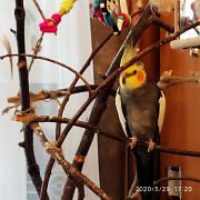 Продам недорого попугая Кореллу. Феодосия
