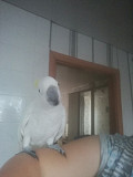 Попугай какаду Москва