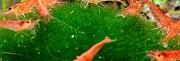 Аквариумные креветки Армавир