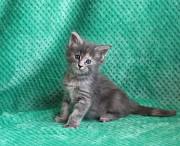 Котята мейн-кун питомник Kato-Gardanto Одесса