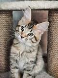 Котята породы мейн-кун Петрозаводск