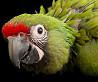 Солдатский ара ara militaris ручные птенцы из питомника
