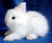 Продам ДЕКОРАТИВНЫХ крольчат Феодосия