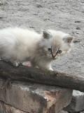 Пушистые сиамские котята Харьков