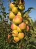 Продам вкусные сочные яблоки
