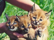 Продам котят Каракала Харьков