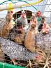 Мясо птицы: Куры, утки, гуси, фазаны, цесарки.