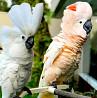 Какаду- абсолютно ручные птенцы из питомника
