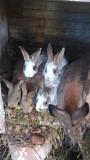 Продаются кролики домашние Могилёв