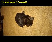 продам щенков йоркширского терьера Запорожье