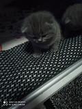 Британские котятки Кривой Рог