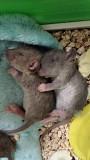 Крысята дамбо Санкт-Петербург
