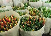 Тюльпаны Санкт-Петербург