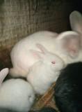 Кролики Богданович