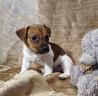Джек Рассел терьер купить щенка