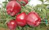 Обрезка яблони!!!